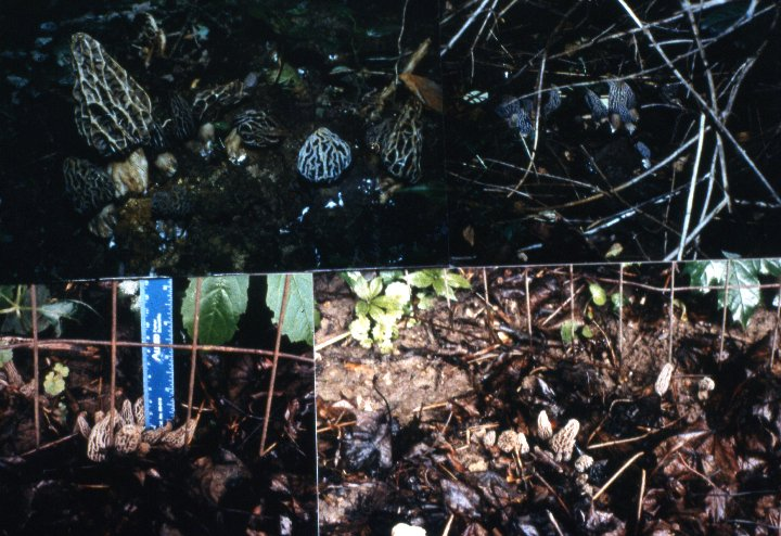 Photograph Morel Habitat Morels Growing