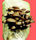 Sonoma Brown Oyster Mushroom Log