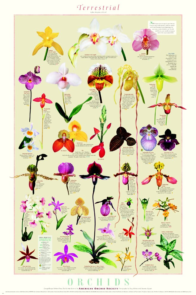 Orchid Posters - Terrestrial Orchids Poster
